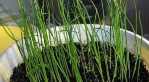 Когда сажать лук на рассаду из семян фото