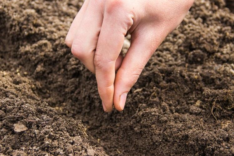 Высадка огурцов в открытый грунт