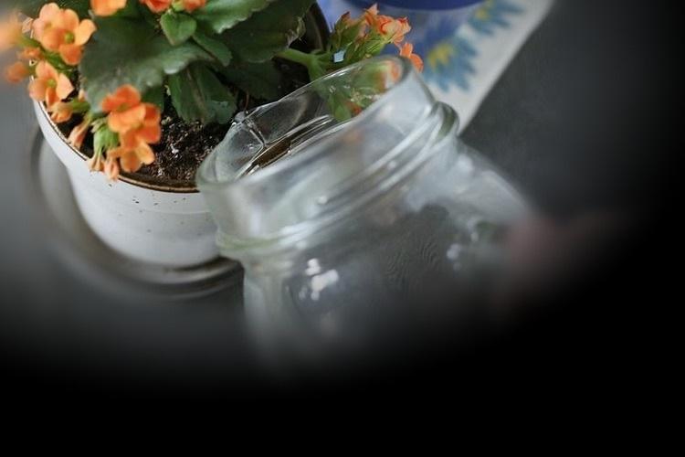 Полив цветущего каланхоэ