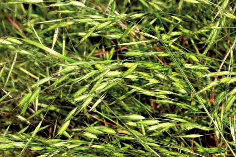 Сорная трава