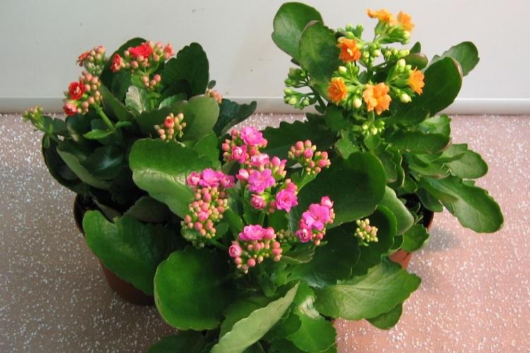 Цветки каланхоэ