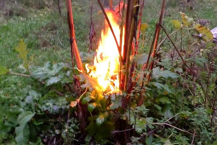Сжигание борщевика