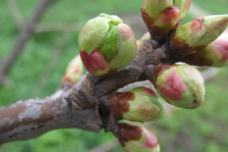 Начало вегетации у яблони