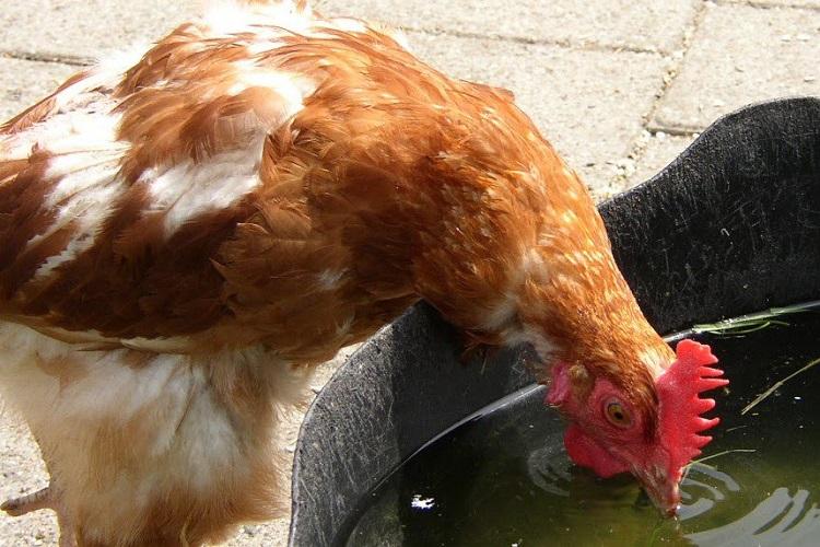 Питьевой режим у кур