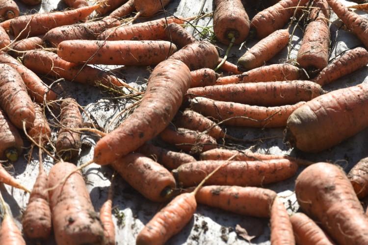 Просушка моркови под навесом