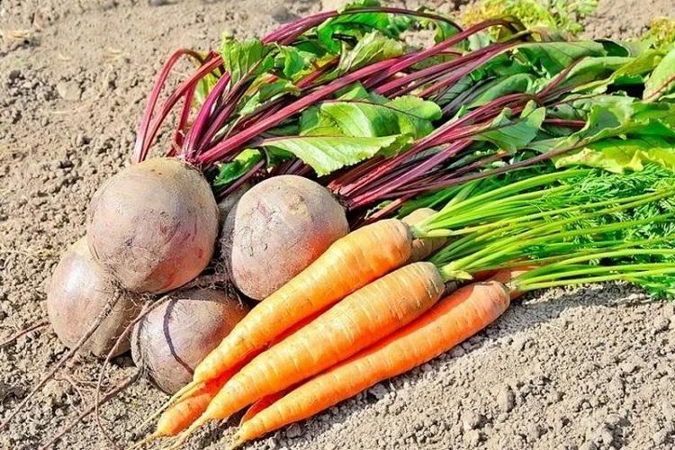 Сушка свеклы и моркови