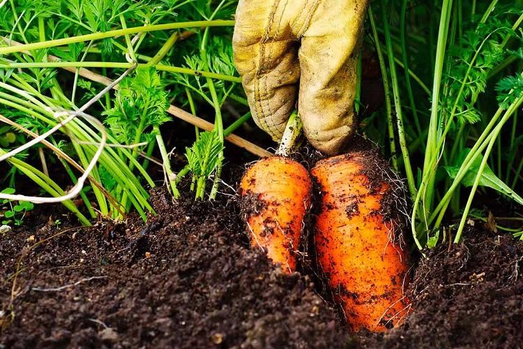 Извлечение корнеплодов из земли